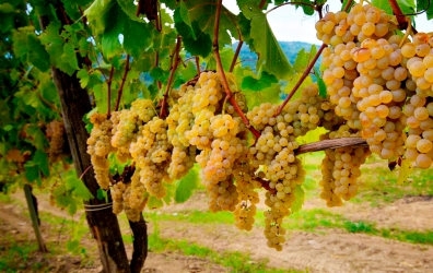 Greco grapes